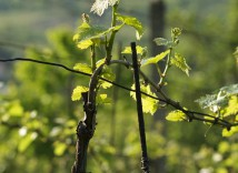 vinohrad nad sklepem